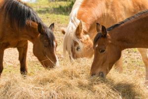 Raufutter – Basis einer guten Pferdefütterung