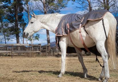Diese Pferdedecke ist nicht nur zu klein, sondern auch nachlässig verschnallt. Das Pferd könnte sich im langen Kreuzgurt verfangen und verletzen, andere Riemen schneiden ein.